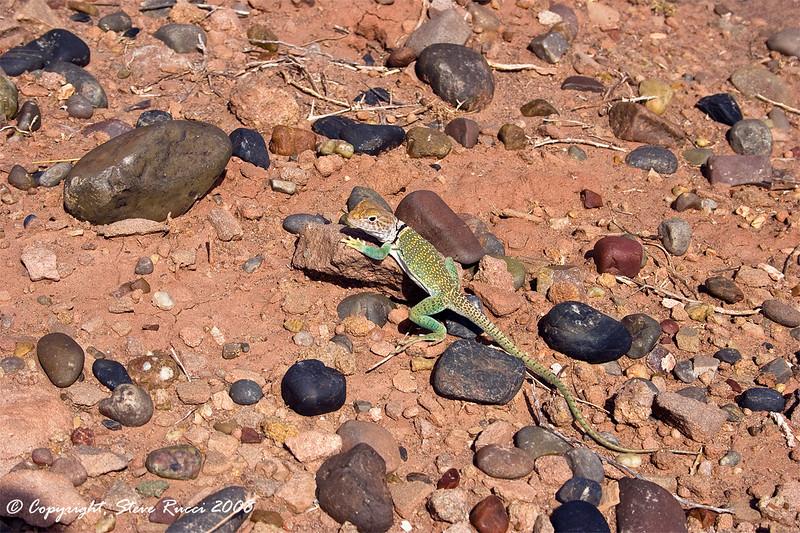 Collared Lizard - Homolovi Ruins State Park, Arizona
