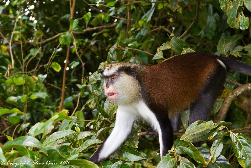 A Mona Monkey in Grand Etang National Park, Grenada.