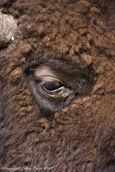 A bison in Yellowstone National Park, Wyoming.