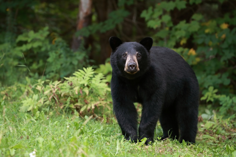 Male Black Bear Yearling in Ontario, Canada
