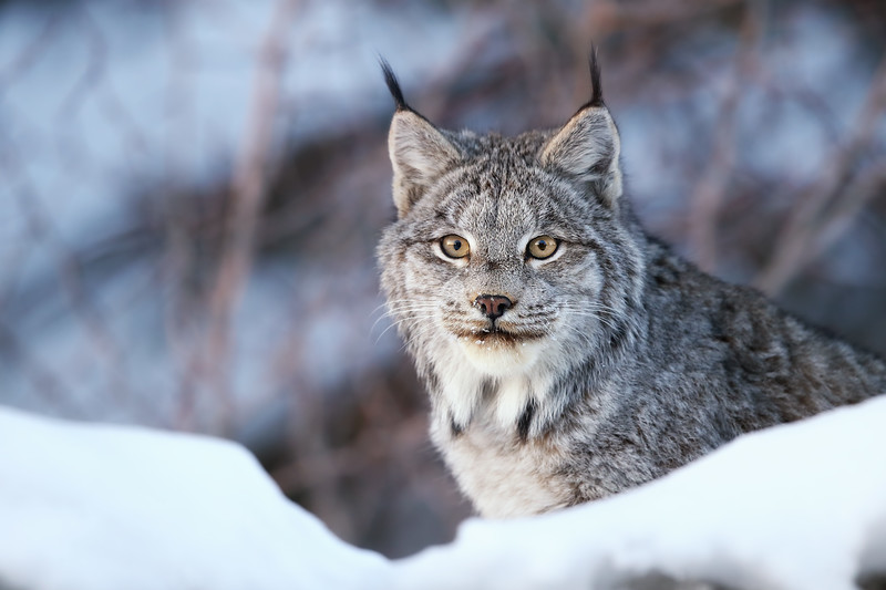 Closeup of a Canada Lynx in Northern Ontario, Canada.