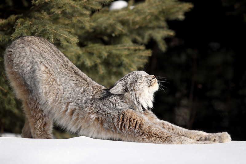 Wild Canada Lynx stretching in Northern Ontario, Canada