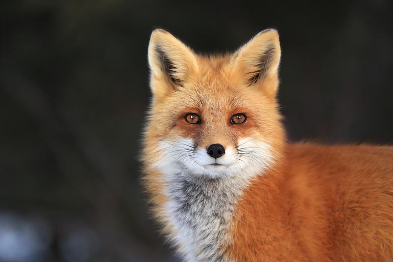 Red Fox Vixen in Algonquin Provincial Park