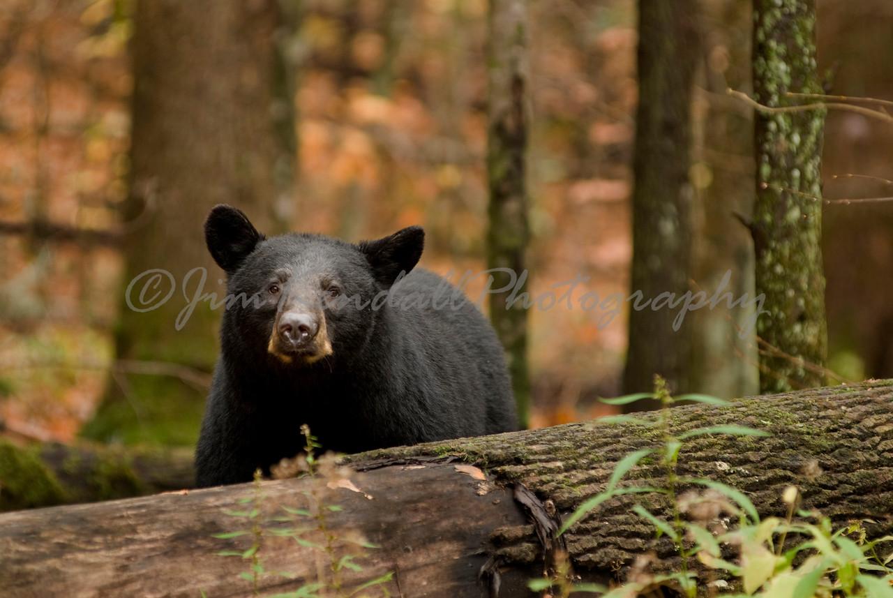 Bear in Roaring Forks
