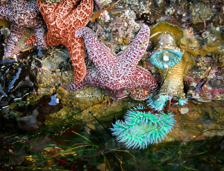 Anemone and starfish cling to the rocks of a tidal pool along the coast north of Bodega Bay, CA