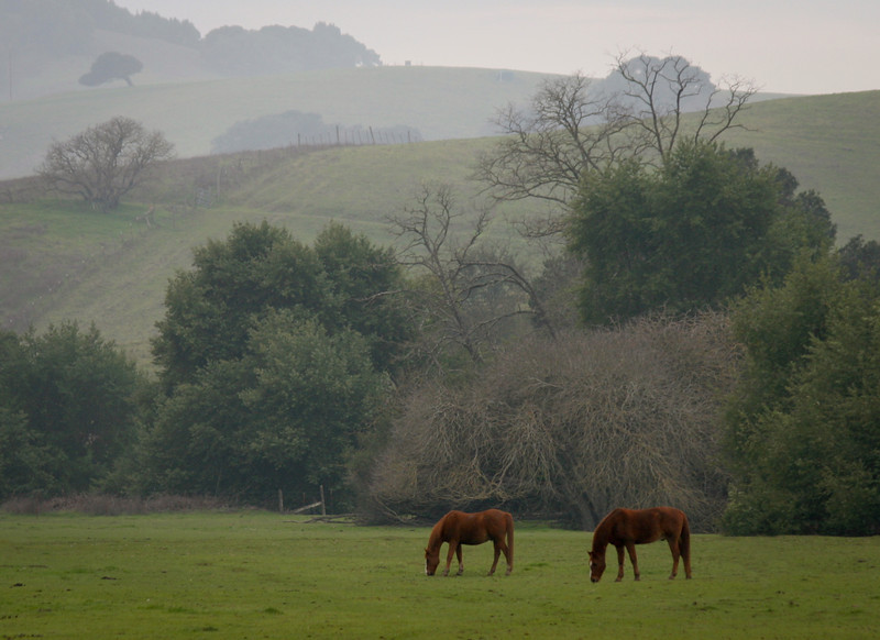Two horses graze in the winter morning mist in a pasture in Petaluma, CA.
