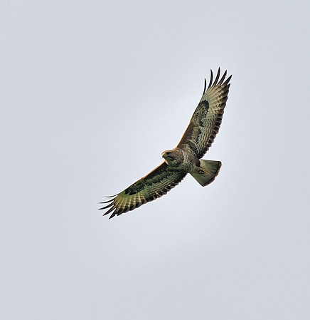Common Buzzard, May