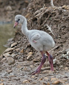 Flamingo chick, May