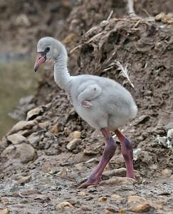 Flamingo chick, May