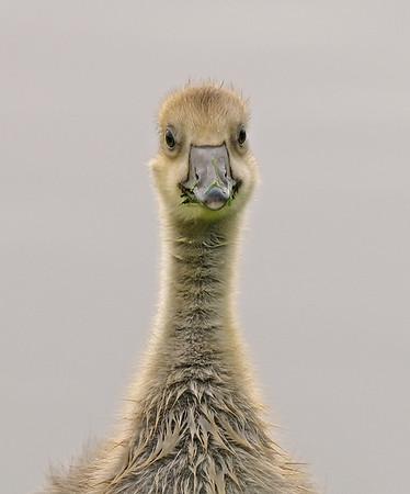 Greylag Goose, May
