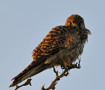 Female Kestrel, November