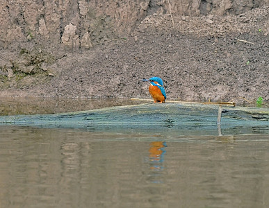 Kingfisher, March