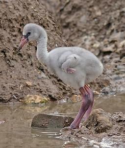 Flamingo chick. May