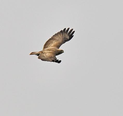 Common Buzzard, May