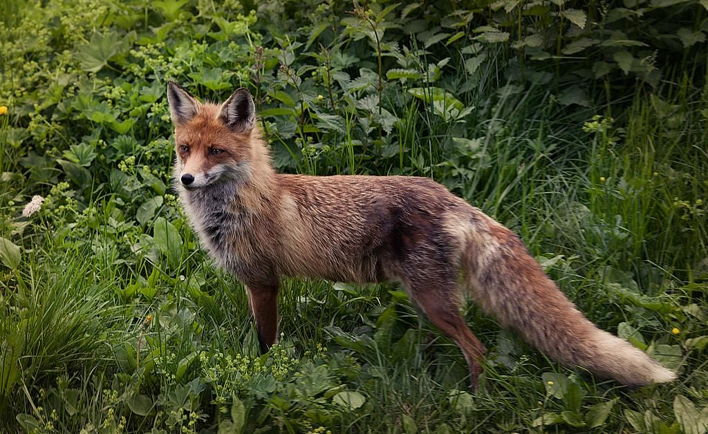 Slovakian fox