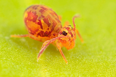 Springtail (Collembola) with a size of around 1.5 mm, made with magnification factor 8 and f/6.3. Members of Collembola are normally less than 6 mm long. Most species have an abdominal, tail-like appendage, the furcula, that is folded beneath the body to be used for jumping when the animal is threatened. It is held under tension by a small structure called the retinaculum and when released, snaps against the substrate, flinging the springtail into the air. All of this takes place in as little as 18 milliseconds (ref. Wikipedia)