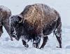 Bob Panick - 2018-02-01 - BHUA02569 - Yellowstone - REP10501
