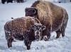 Snowy Calf