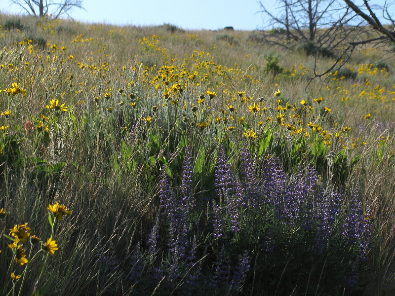 Gray Butte was literally covered with wildflowers, including lupines and balsamroot.