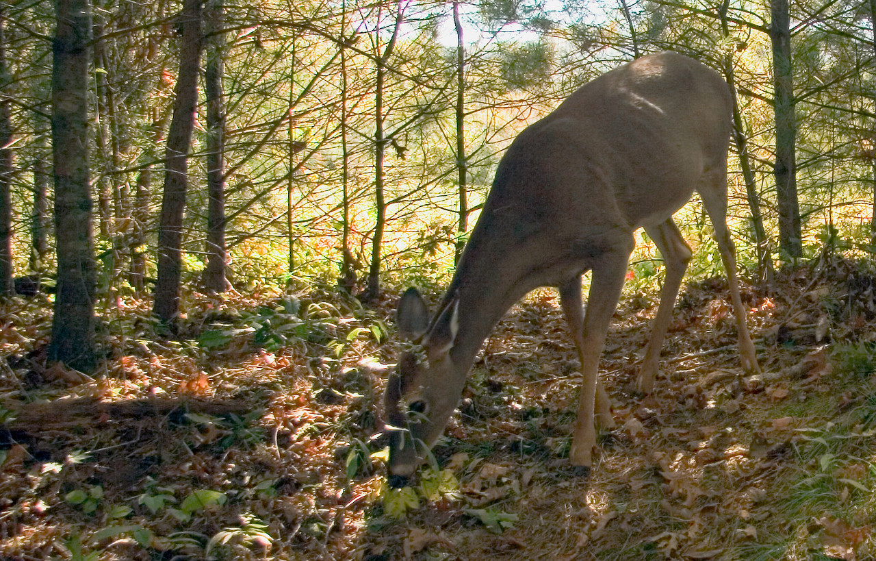 Deer in Cades Cove 2