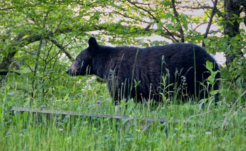 Along the Road to Clingmans Dome we spotted this bear and took a few shots out the car window...we didn't really want to get out and get up close and personal.