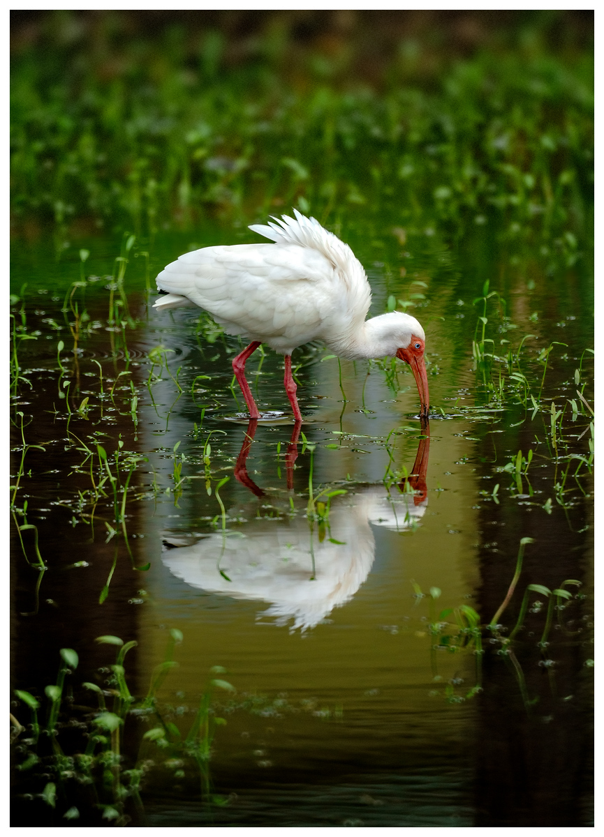 Art Photography: Ibis
