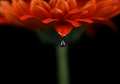 Water Drop Red Gerbera Daisy
