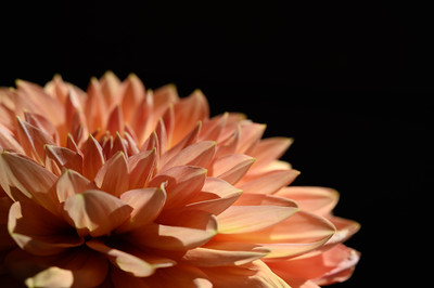 Light Orange Dahlia