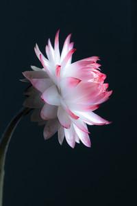 Pink Straw Flower