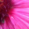 Flower #macro #pink
