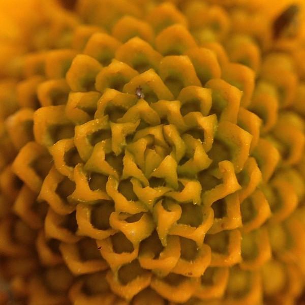 Fibonacci #Yellow #flower #macro