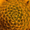Fibonacci #Yellow #flower #macro