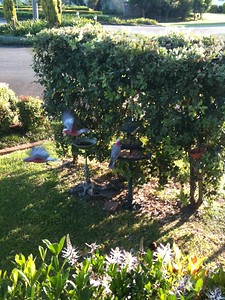 Galahs (Cacatua roseicapilla) on mum's bird feeder in Port Macquarie