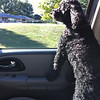 What dog doesn't like hanging his head out the window?