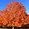 THIS is a maple tree!