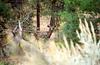 A Grand Canyon deer