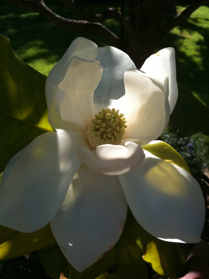 Backyard Magnolia
