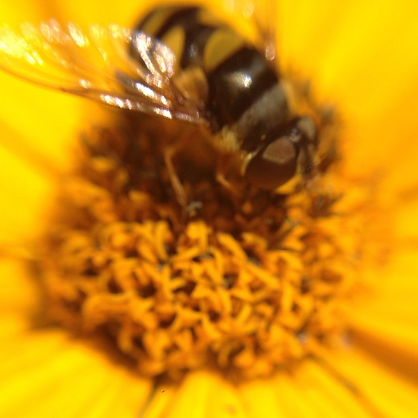Bee #yellow #flower #macro