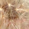 Dandelions #macro