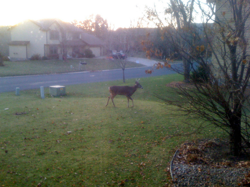Early morning front yard visitor!