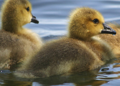 April05 duckling