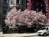Japanese Cherry Trees (1) (Commonwealth Ave.)