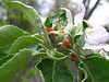 apple bud 6