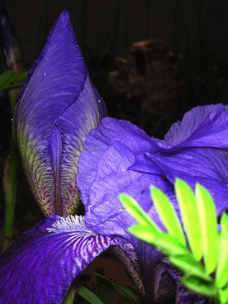 iris 93