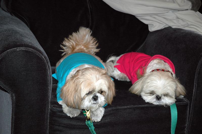 Starbucks Sheraton Boston.2 dogs on chair.