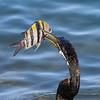 Australasian Darter (Anhinga novaehollandiae)
