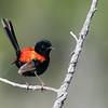 Red-backed Fairywren ( Malurus melanocephalus)