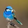 Splendid Fairy-wren Male (Malurus splendens)