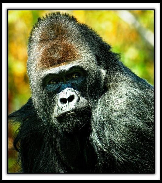 _DSC2793 Gorilla