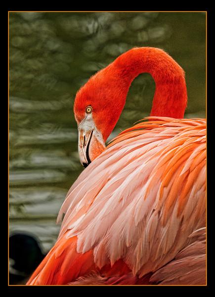 _DSC2432 Flamingo Crisp